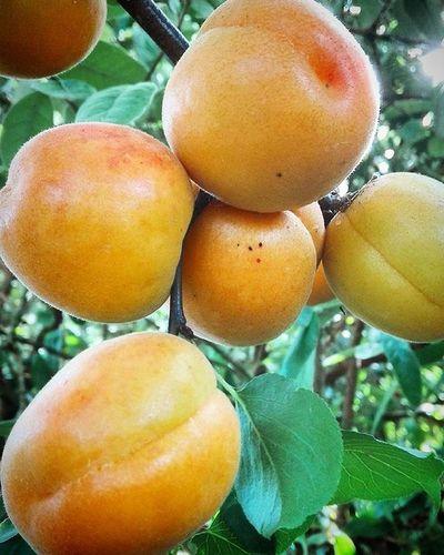 Apricots Fruit Summer Fresh Juicy Ripr Harvest Tt_rt_nature Rebelsunited_nature Rsa_nature 9Vaga_ColorOrange9 Pocket_food 9vaga_food9