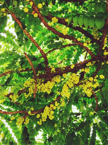 Star Gooseberry Results of gooseberry tannin which helps those with diarrhea and a mild laxative, dextrose, levulose, sucrose, a sugar that helps energy to the body, vitamin C helps the repair cells and strengthen immunity. the body. Asia Fruit Wild Fruits Fruit Contains Antioxidants.
