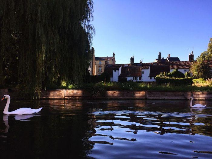 Swan on lake against clear sky