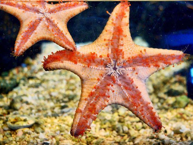 Starfish Starfish  Monterey Bay Aquarium