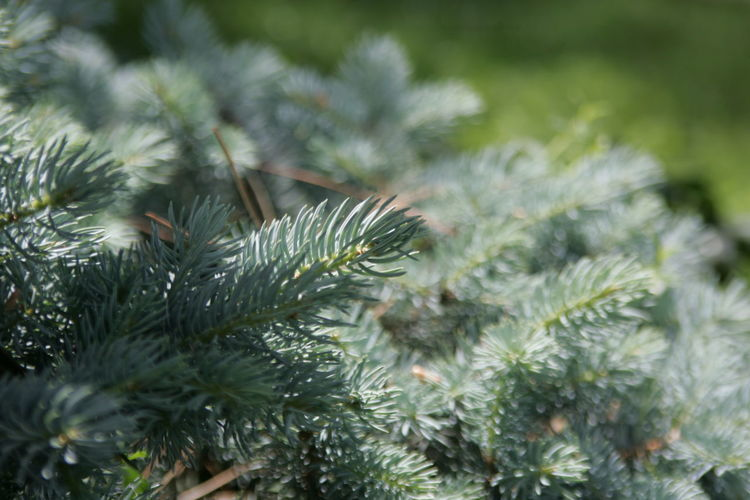 Canon D1 Mark Ll Sempreverdi Tree Spruce Tree Pine Tree Pinaceae Needle - Plant Part Needle Branch Fir Tree Flower Close-up Coniferous Tree Plant Life Botanical Garden