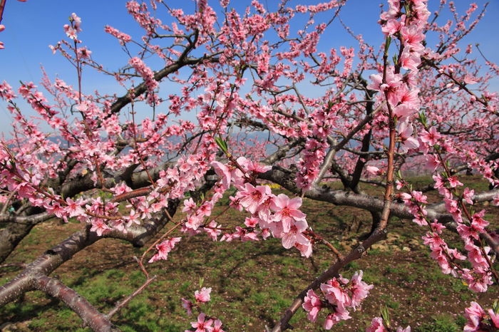 Blooming Blossom Branch Flower Freshness In Bloom Peach Peach Blossom Peachflower Peachtree Petal Pink Color Tree
