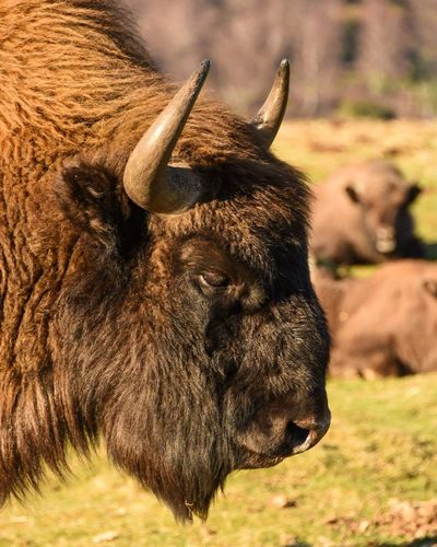 EyeEm Selects Byson Mammal One Animal No People American Bison Nikond7200 Nikon_photography Amateurphotographer  EyeEm Best Shots Animal Themes Animal Outdoors Amateurphotography Wildlife Photography Wildlife & Nature Nikonphotographer Animals In The Wild Photography Scottish