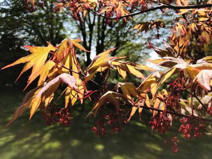 Acer leaves and