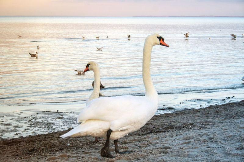 Swan standing on sea shore at sunrise