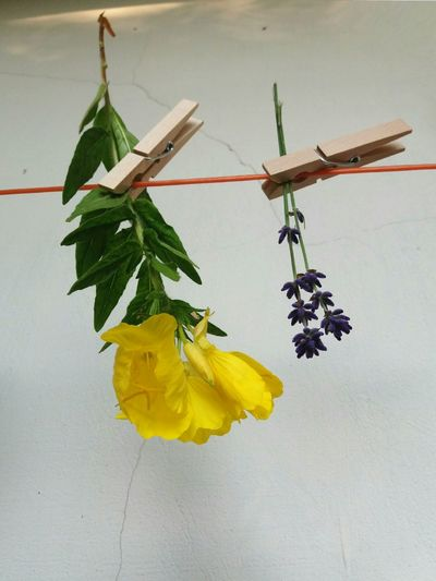 Hanging Green Color No People Leaf Yellow Plant Close-up Indoors  Flower Nature Herbal Medicine Freshness Day From My Point Of View Lavenderflower Lavender Violet Flowers Clothespins Clothes Peg Colors Colorful Freshness Flower Head Colorsplash
