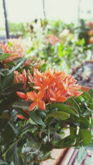 Red Ixora Flower The Week On EyeEm Eyeem Philippines