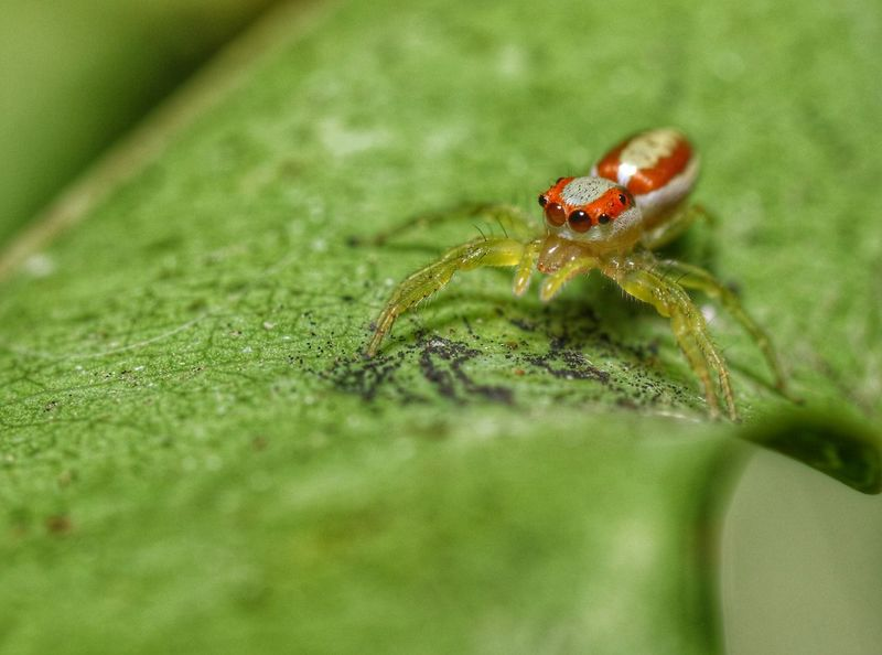 The Jumping Spider on green leaf Insect Spider Jumping Spider Macro Leaf Green Fresh Farm No People Close-up Nature Outdoors Plant Garden Small Beautiful Natural Light