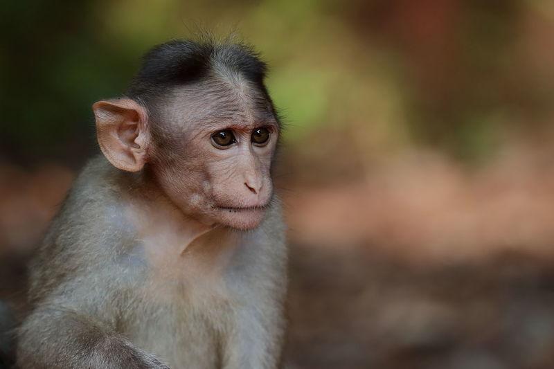 Portrait of a bonnet macaque