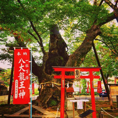 秩父 Chichibu 秩父今宮神社 Shrine Shrine Of Japan 龍神木 Dragon Tree Sacred Tree Tree Nature