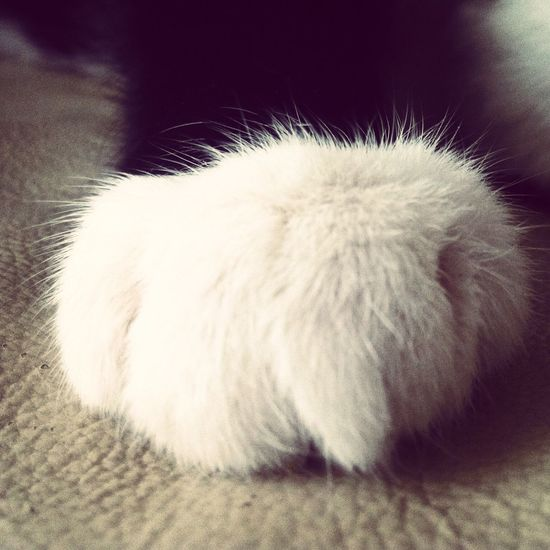 Phatte Pfote. Cat Paw Domestic Animals Pets Close-up Feline Indoors  White Color Selective Focus White Animal Hair Relaxation Fluffy Furry Animal Themes Resting Domestic Cat