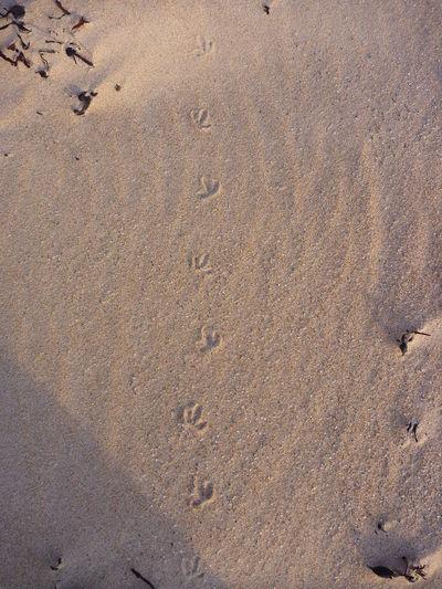 Beauty In Nature Bird Footprint FootPrint Footprints In The Sand Natural Pattern Nature Sand Seabird Animals Non Urban Scene Sands A Bird's Eye View Footprints Footsteps