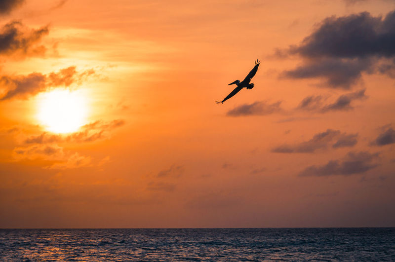 A pelican is flying towards the setting sun above the caribbean sea at the island Aruba. Aruba Beach Beauty In Nature Bird Caribbean Sea Clouds Flying Horizon Over Water Is Nature No People Ocean Orange Color Pelican Scenics Sea Seascape Silhouette Sky Summer Sun Sunset Tropical Water Wildlife