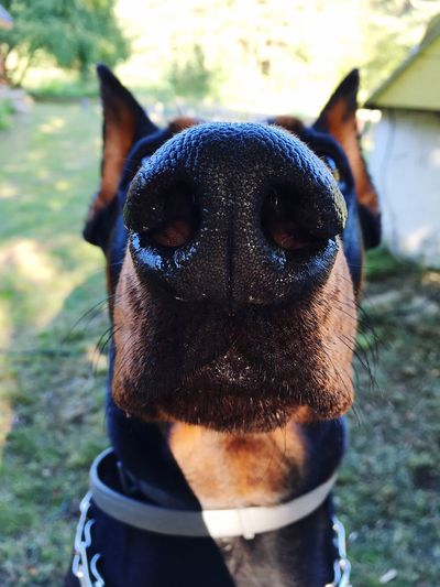 Domestic Animals Dog Animal Themes Pets Mammal One Animal Focus On Foreground Looking At Camera Portrait No People Day Close-up Outdoors Dog Nose Nose Black Nose Dobby Doberman  Dobermanpinscher Big Nose Noseholes Pet Portraits