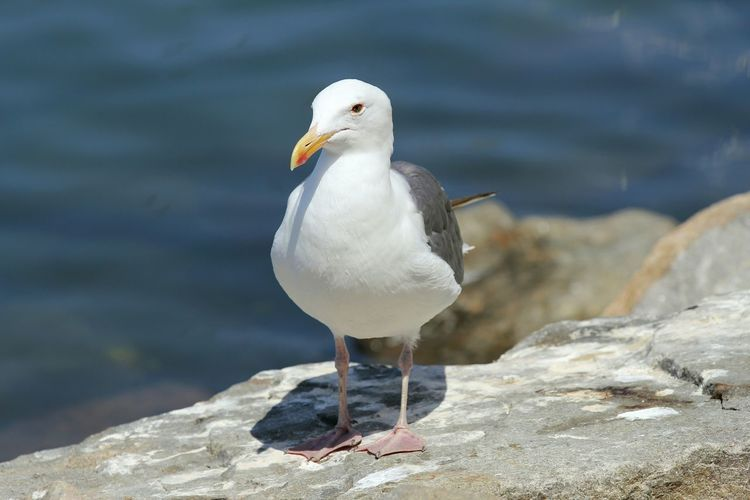 Close-up of seagull perching on retaining wall by lake