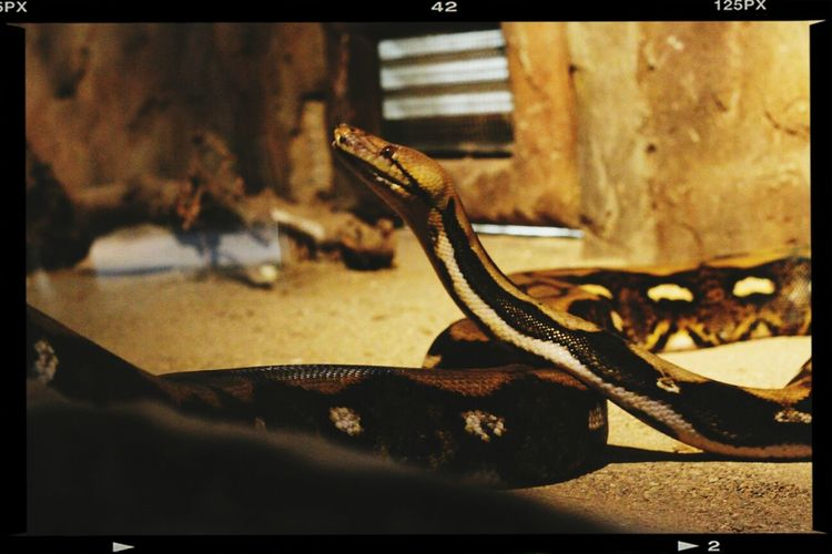 Naturallifepark Snake Wild Animals Animals