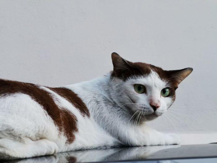 Cat Animal Ear