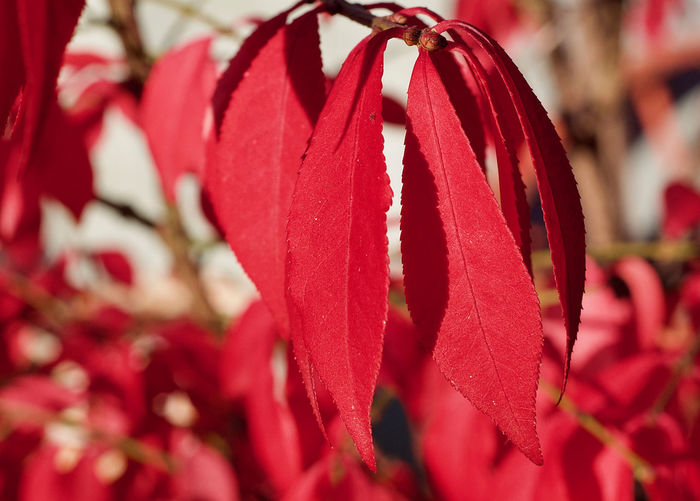 Close up of red leaves