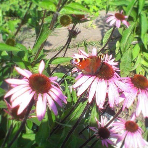 Natural beauty @ Thedatcha Flowers Butterfly Beautiful bestdaysofsummer