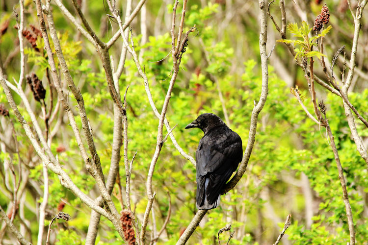 Black crow on a branch Animal Animal Themes Animal Wildlife Animals In The Wild Bird Black Color Blackbird Branch Day Focus On Foreground Forest Land Nature No People One Animal Outdoors Perching Plant Raven - Bird Tree Vertebrate