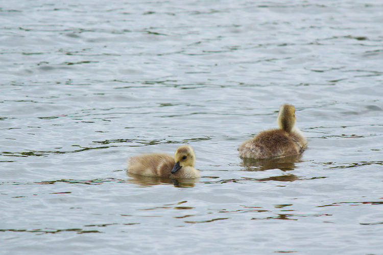 Goslings Geese Goslings Swimming Wisconsin Animal Animal Themes Animal Wildlife Animals In The Wild Bird Day Gosling Group Of Animals Lake Nature No People Outdoors Springtime Swimming Water Waterfowl Young Animal Young Bird