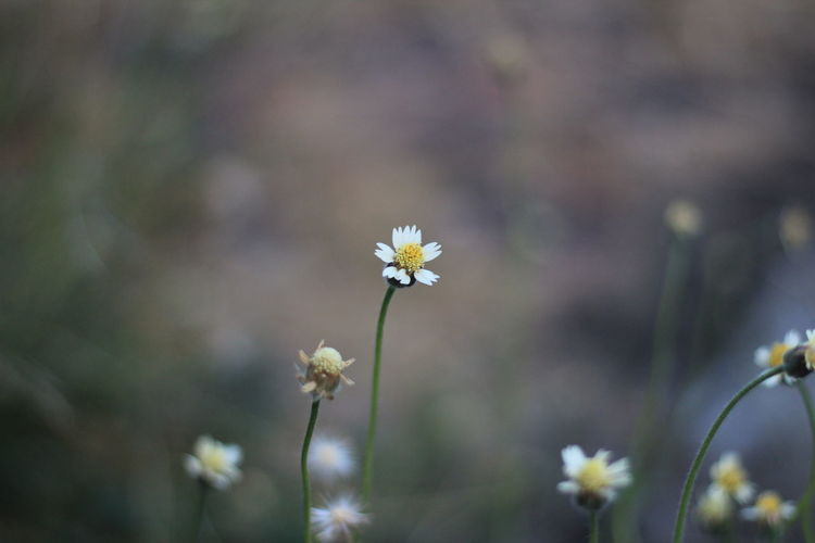Flowering Plant Flower Freshness Fragility Vulnerability  Plant Growth Beauty In Nature Close-up Focus On Foreground Petal Flower Head Inflorescence Day Nature No People Selective Focus White Color Outdoors Plant Stem Small