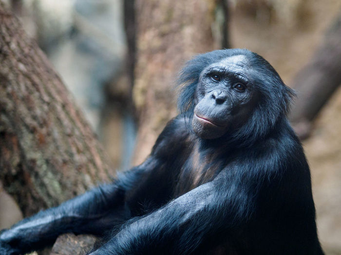 Portrait of chimpanzee by tree at zoo