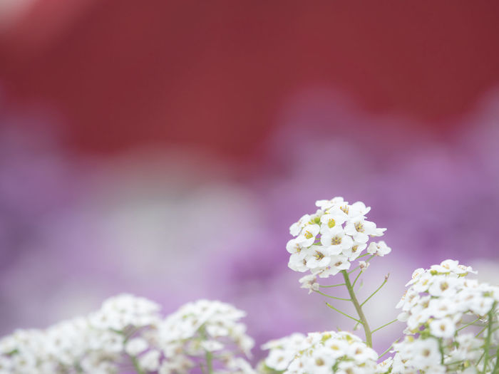 Beauty In Nature Blossom Bouquet Bunch Of Flowers Close-up Day Flower Flower Arrangement Flower Head Flowering Plant Focus On Foreground Fragility Freshness Growth Inflorescence Nature No People Pink Color Plant Purple Selective Focus Softness Springtime Vulnerability  White Color