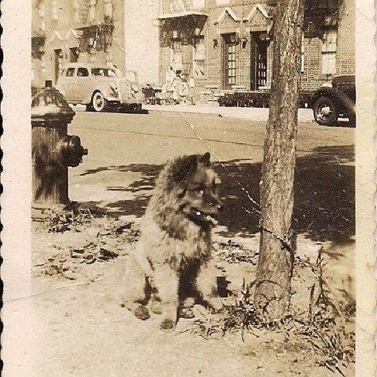 A pic of my great aunt's dog. She lived in New York City in the 30s and 40s. Trying to date this photo. Are there any car buffs out there who can help me date the models/years of the cars in the background to try to narrow the date/decade? Familyphotos Nostalgia Newyorkcity Dogs ancestry help instagood instagramusa