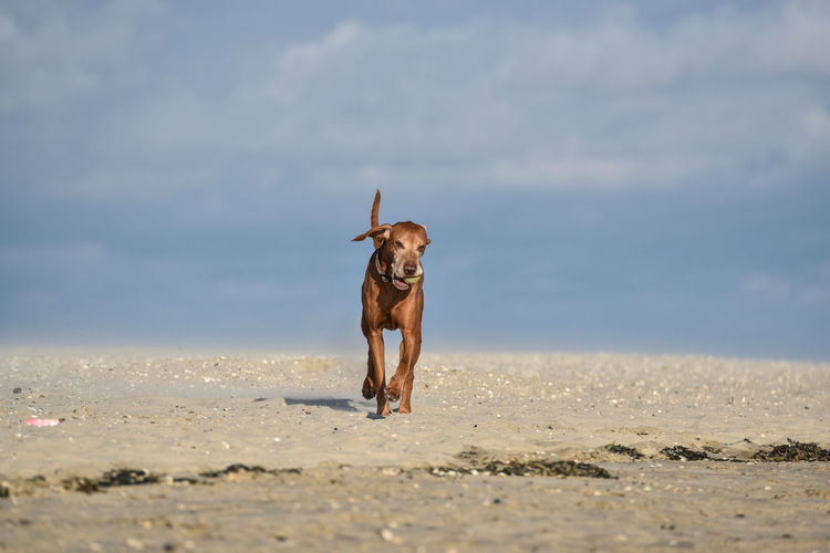 Dog Playing With Ball On Beach Against Sky