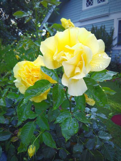 Rain Drops On Rose Flower Porn Rain Drops On Petals Rainy Days☔ Flowers,Plants & Garden My Photography Rain Drops On Flowers Rain Drops On Leaves Leaves🌿 Mother Nature