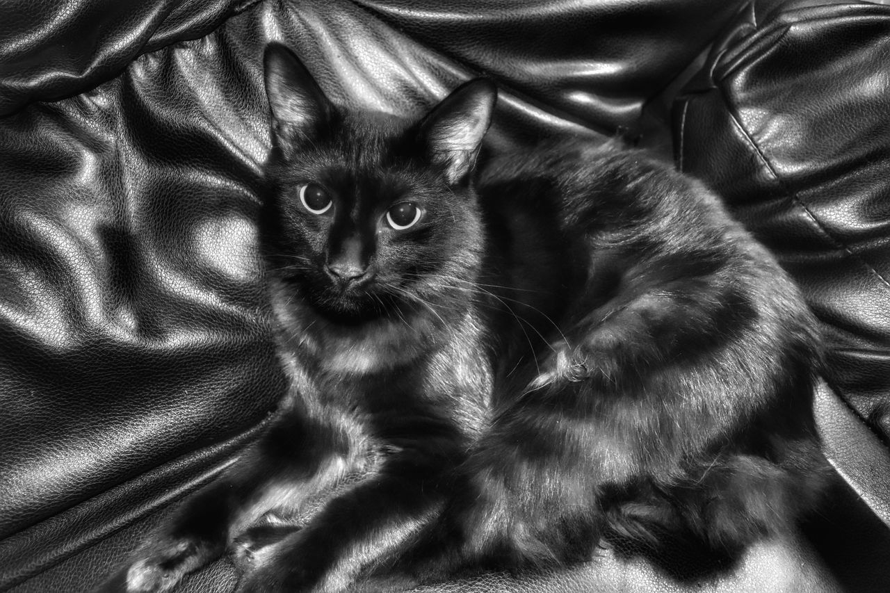 domestic cat, pets, domestic animals, mammal, animal themes, feline, one animal, indoors, cat, looking at camera, no people, portrait, sheet, bed, sitting, kitten, close-up, day