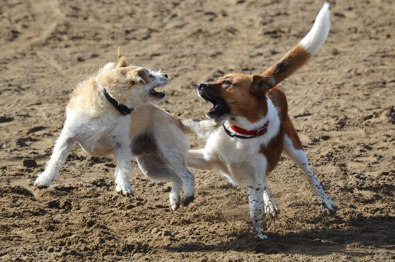 Dogs fighting on land