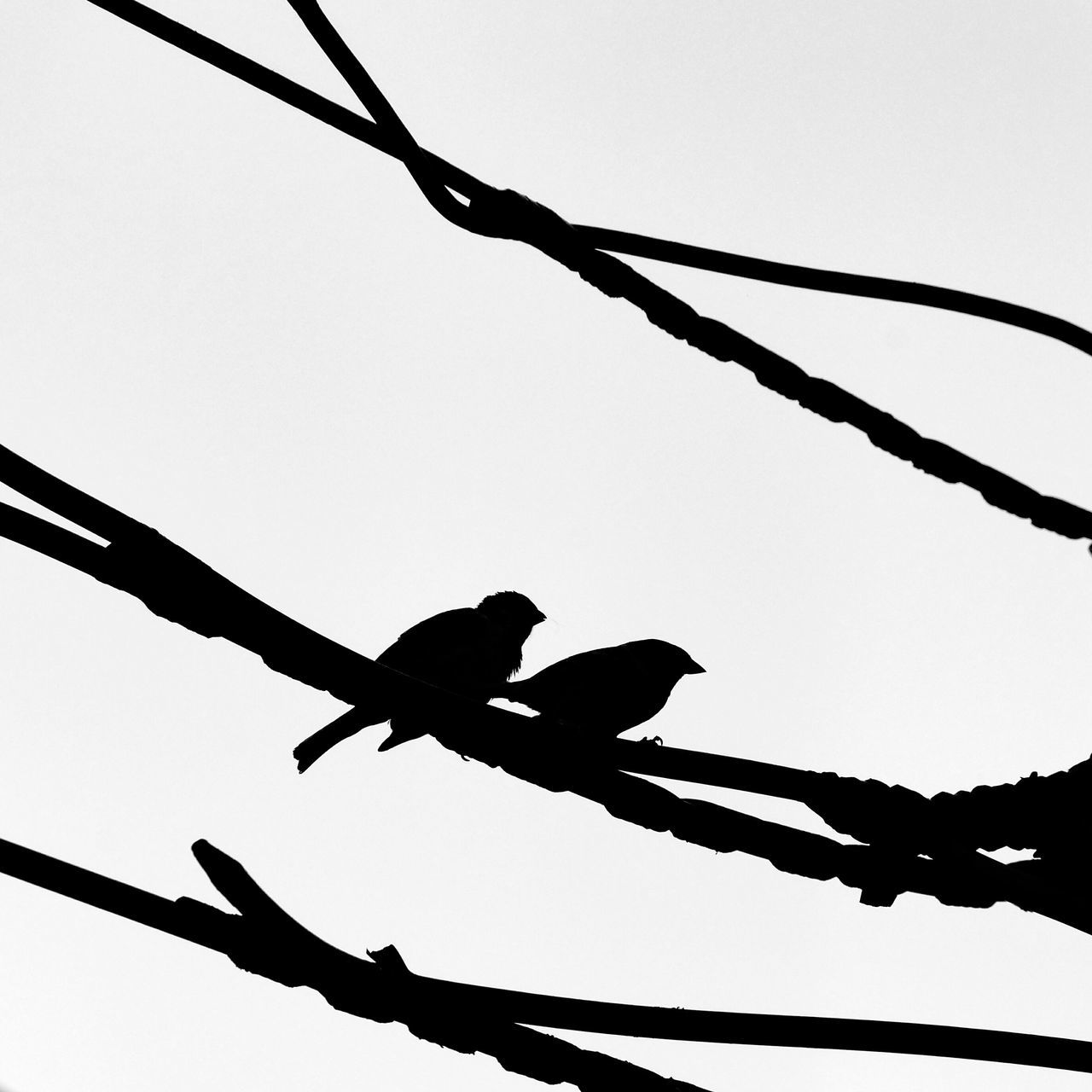 low angle view, silhouette, animals in the wild, animal themes, bird, clear sky, connection, day, no people, cable, outdoors, nature, perching, togetherness, sky, tree, close-up