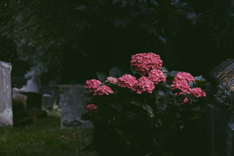 Pink hydrangeas growing in cemetery