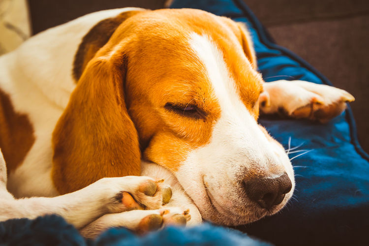 Adorable beagle dog sleeping on couch. canine background. lazy rainy day on couch.