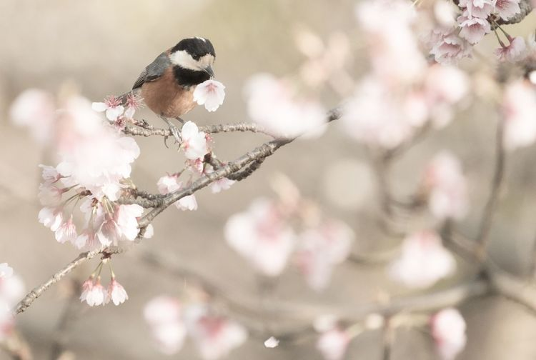 Japan Nature Flower Bird Beauty In Nature Plum Blossom Pink Color No People Animals In The Wild Cherry Blossom Eye Em Nature Lover For you🌸