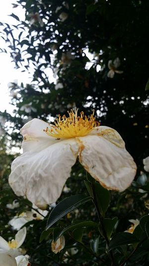 Camellia ? Flower Tokyoautumn Tokyonature Tokyoautumn2016 Japan