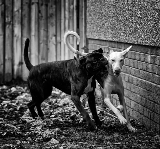 Animal Themes Ball Boxer Dog Day Dogs Domestic Animals Fun Ibizan Hound Mammal Nature No People Outdoors Pets Playing