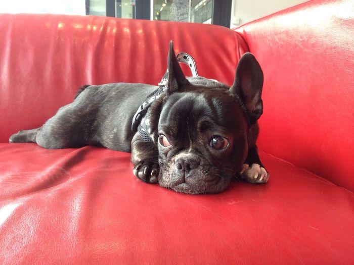 Frenchbulldog Black Redsofa