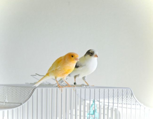 Canary Love Cute Pets Domestic Life Love Birds Animal Themes Best Friends Birds Of A Feather Flock Together Bffs Bird Birds Birds Out Of Cage Birdys Canaries Canary Couple Of Birds In Love Finches Friendship Happy Songbirds Indoors  Little Pair Of Song Birds Perching Sitting On Cage Small Togetherness Two Canaries Sitting On Cage White Background