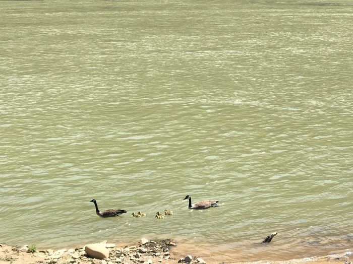 Family's day out Bird Animal Themes Animal Animals In The Wild Animal Wildlife Water Vertebrate Goose Lake Animal Family