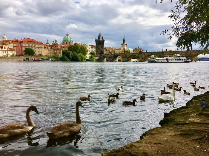 Prag Schwäne Prague Photography Prag Family Swan Schwan  Riverside Bridge Prague Bridge Brücke Prague Water Architecture Bird Built Structure Building Exterior Animal Vertebrate Animal Themes Animals In The Wild Animal Wildlife Sky Cloud - Sky Group Of Animals City Tree Swan Nature Lake Plant No People