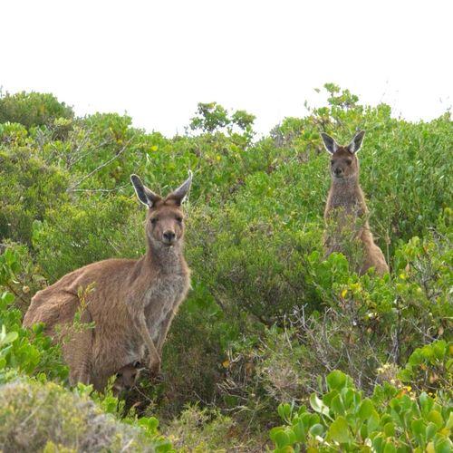 Kangaroo Wildlife Australia Nature Nature Life EyeEm Nature Lover EyeEm Best Shots EyeEm Best Edits