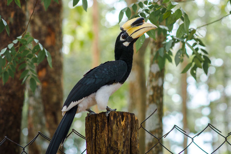 Hornbill Oriental Pied Hornbill Yellow Mouth Animal Animal Wildlife Bird Black Color Fence Focus On Foreground Nature One Animal Perching Tree