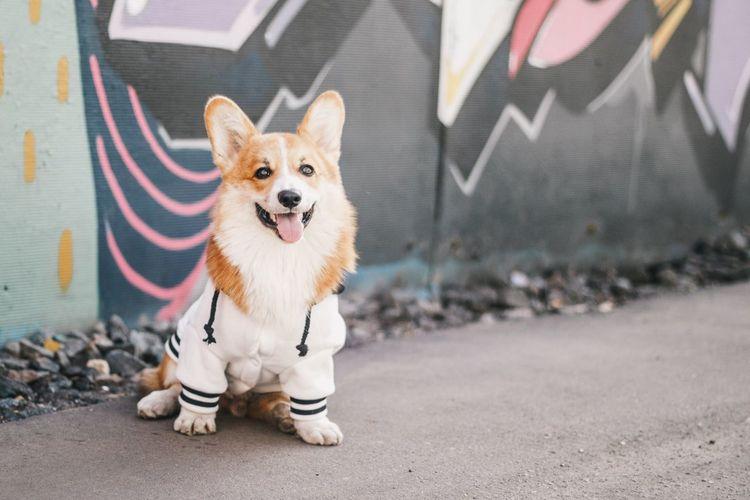 Citydog Doginthecity Corgi Корги One Animal Canine Dog Mammal Pets Domestic Domestic Animals Portrait City First Eyeem Photo