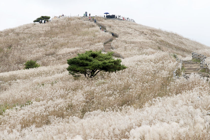 autumn landscape of Mindeungsan Mountain in Jeongseon, Gangwondo, South Korea. Mindeungsan is famous for autumn silver grass. Autumn Gangwondo Jeongseon Mindeungsan Silver Grass Adventure Autumn Silvergrass Beauty In Nature Day Extreme Sports Grass Landscape Large Group Of People Men Nature Outdoors People Real People Silvergrass Sky Tree