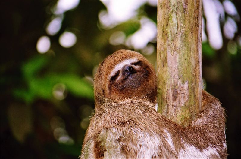 lazy sloth folivora embracing bare trunk of a tree with tired clothed eyes in Amazonas Monkey Nature Animal Tree Day Lazy Outdoors Sloth Peru Plant Tree Trunk Iquitos  Amazonas Close-up Mammal No People Primate Animals In The Wild Animal Head  Lazybones Animal Body Part Animal Themes One Animal Focus On Foreground Animal Wildlife Vertebrate