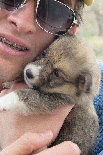 Close-up portrait of corgi puppy