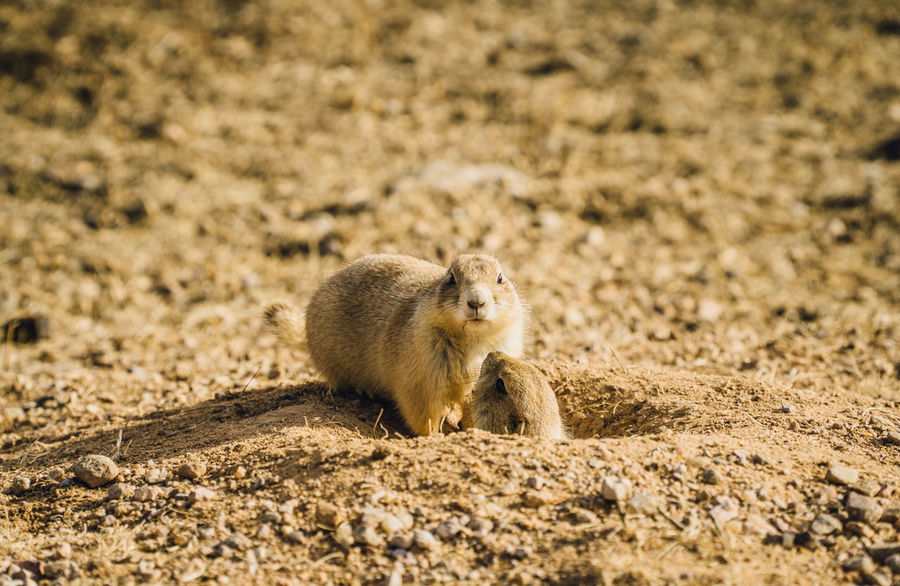 Animal Themes Animal Wildlife Animals In The Wild Close-up Day Field Mammal Nature No People Outdoors Prairie Dogs South Dakota
